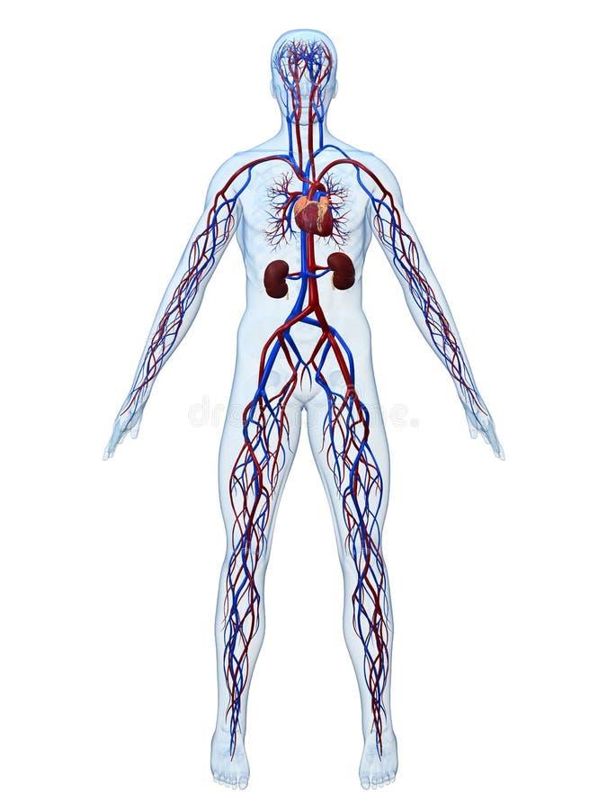 心血管系统 皇族释放例证
