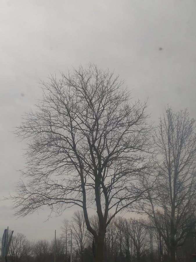 忌惮苗条树 库存照片