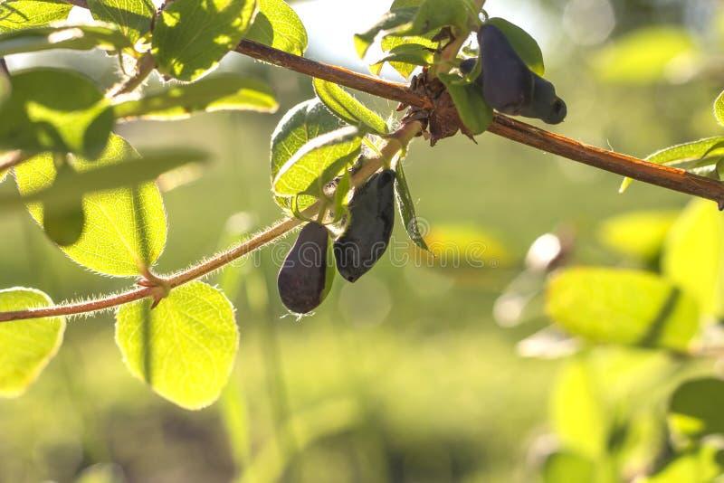 忍冬属植物在一个分支的莓果特写镜头在叶子背景  免版税库存照片