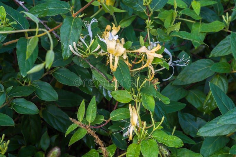 忍冬属植物花 图库摄影