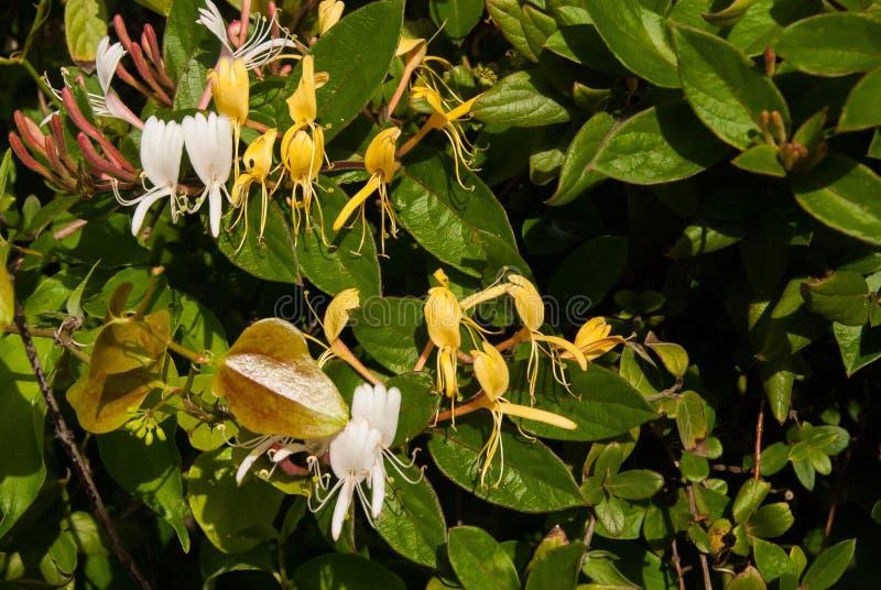 忍冬属植物绿色叶子 库存图片