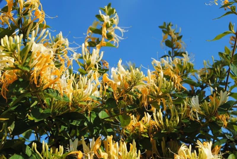 忍冬属植物 库存照片
