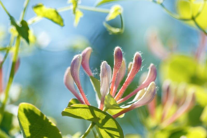 忍冬属periclymenum花、共同的忍冬属植物、欧洲忍冬属植物或者忍冬属植物,开花在夏天庭院里 库存图片