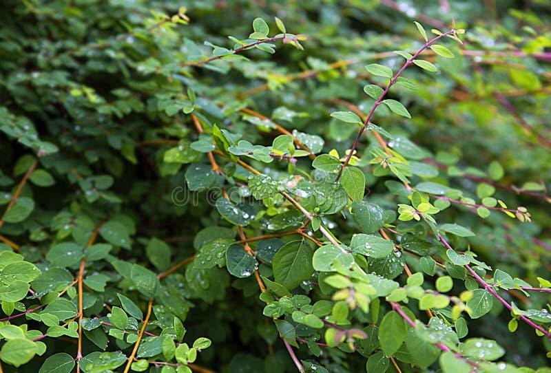 忍冬属Tatarica忍冬属植物,装饰落叶灌木,特写镜头 免版税库存照片