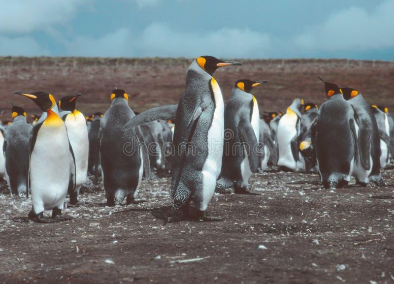 志愿点的,福克兰群岛Islas玛尔维娜企鹅国王 免版税图库摄影