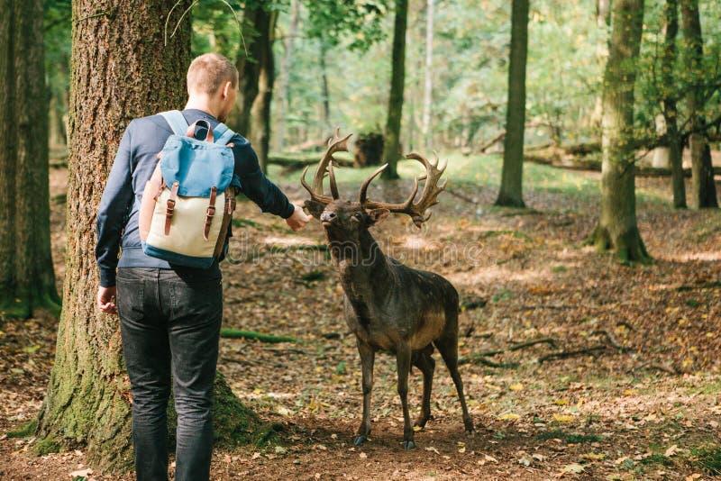 志愿者在关心对动物的森林里喂养一头野生鹿 免版税库存照片