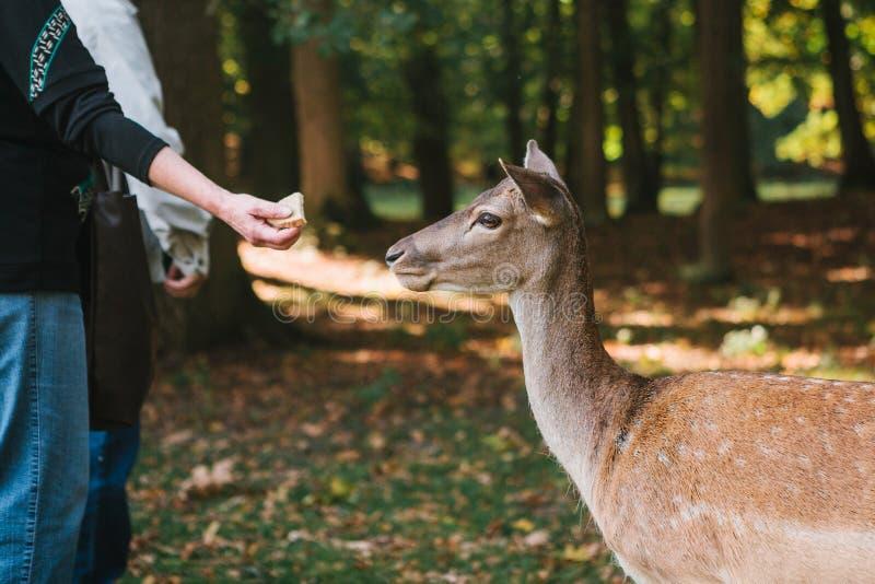 志愿者在关心对动物的森林里喂养幼小野生鹿 免版税图库摄影