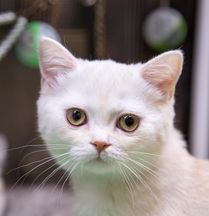 快乐的快乐的在银的小猫品种苏格兰Shorthair蓝色画象  r 免版税库存照片