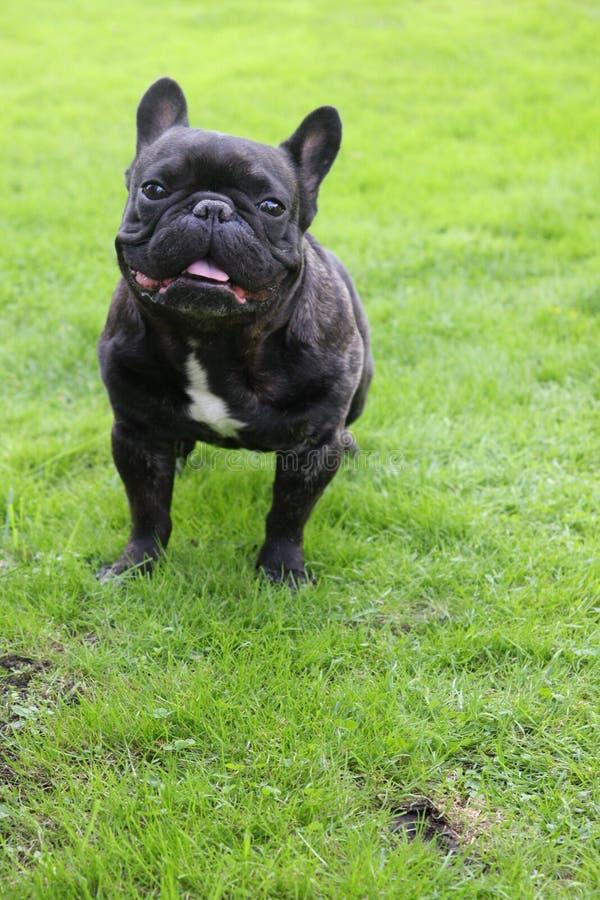 快乐的时间在有可爱的法国牛头犬的庭院里 库存照片