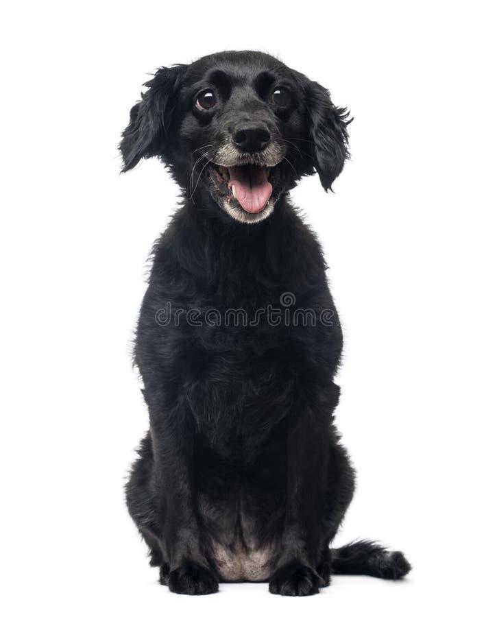 快乐的杂种狗开会的正面图,气喘 库存照片