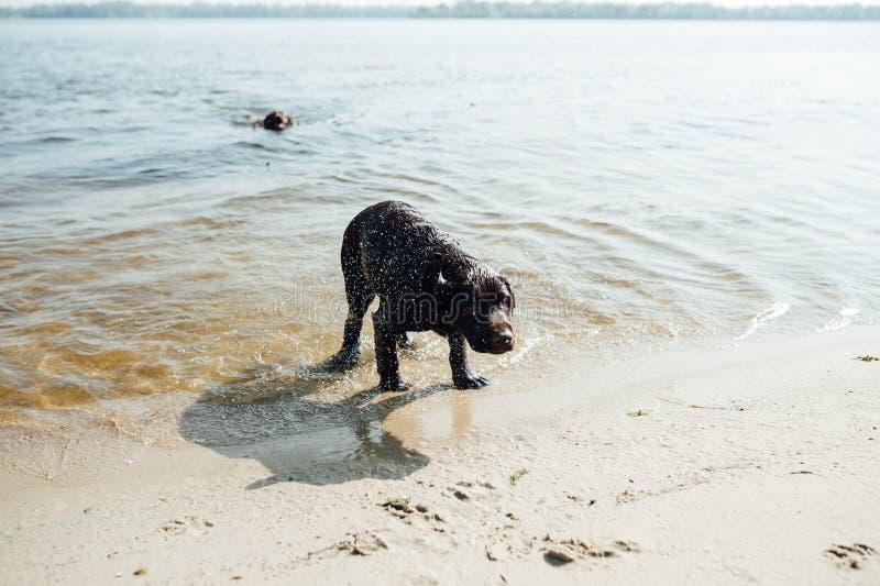 快乐的棕色拉布拉多戏剧在水中 免版税库存图片