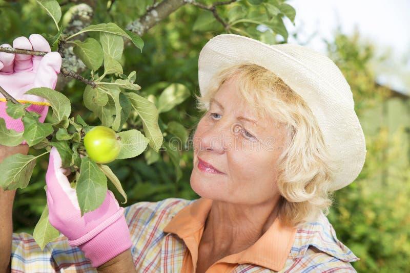 快乐的资深妇女采摘苹果在庭院里 库存图片