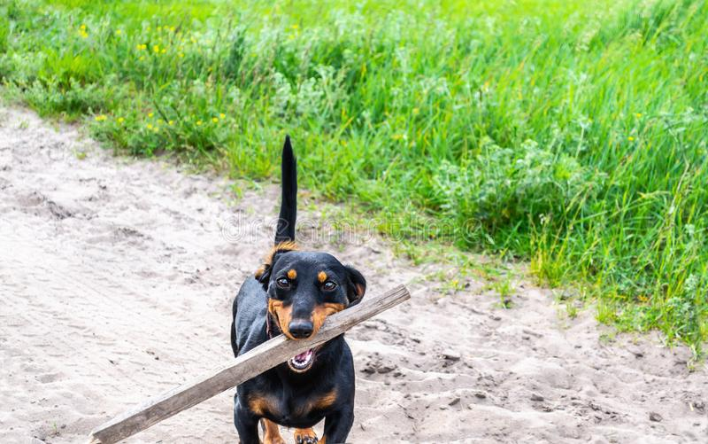 快乐的达克斯猎犬狗在有在旁边草的含沙路停留,拿着棍子并且邀请通过它使用和 免版税库存图片