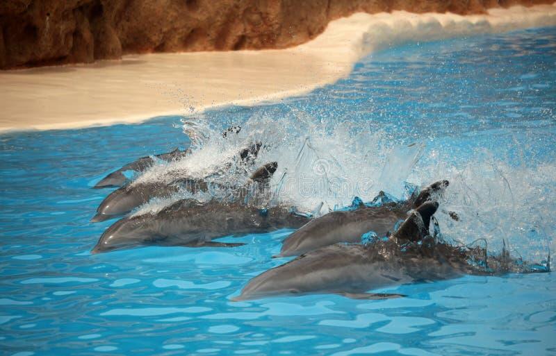 快速地游泳的海豚 图库摄影