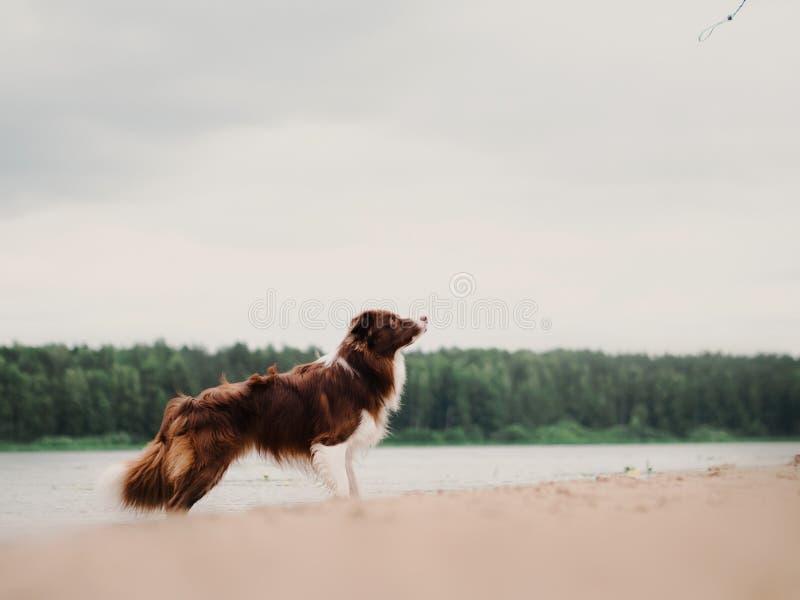 快速地跑在森林里的惊人的博德牧羊犬狗在早晨晴朗的冬日 免版税库存照片