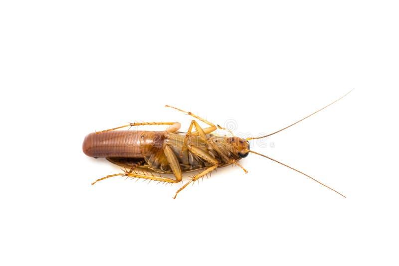 怀孕唯一的蟑螂 免版税库存照片