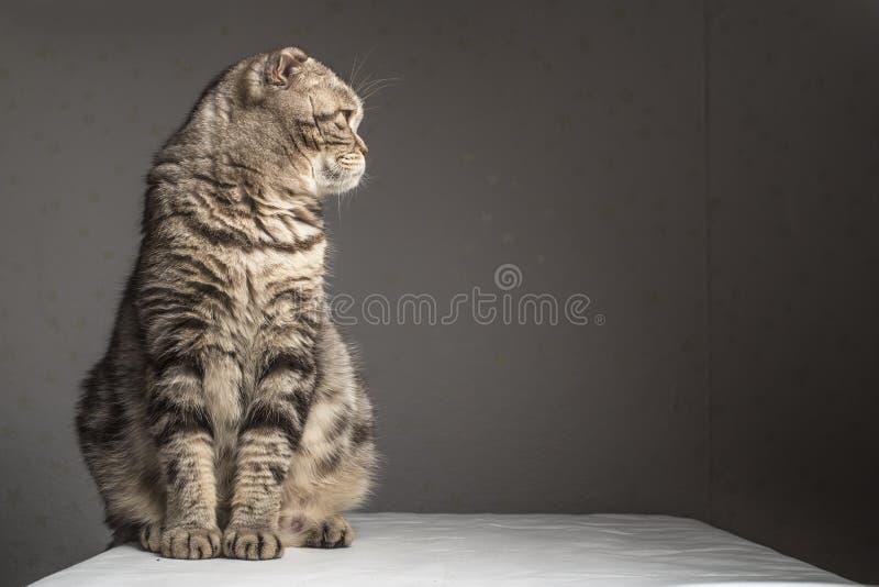 怀孕的厚实的灰色镶边了苏格兰人折叠猫坐桌 免版税图库摄影
