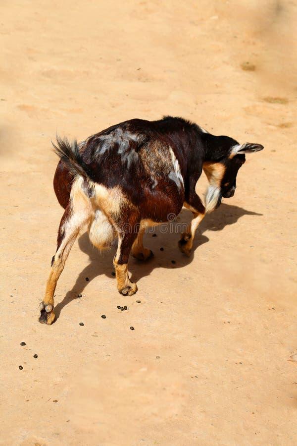 怀孕的山羊 免版税图库摄影