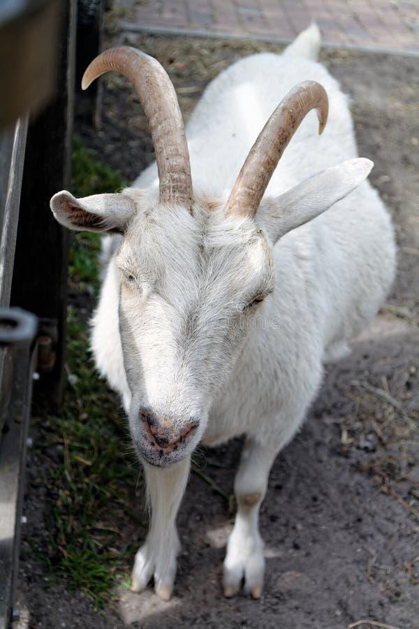 怀孕的山羊 免版税库存图片