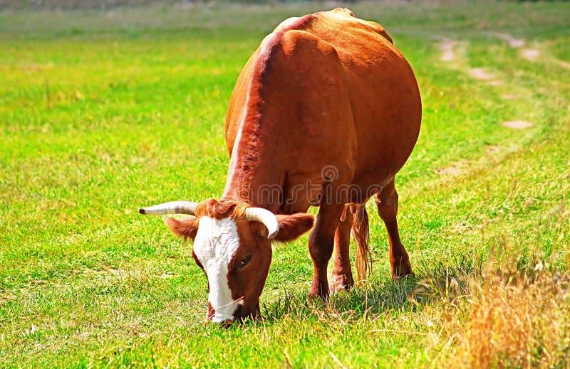 怀孕的母牛在草吃草 免版税库存照片