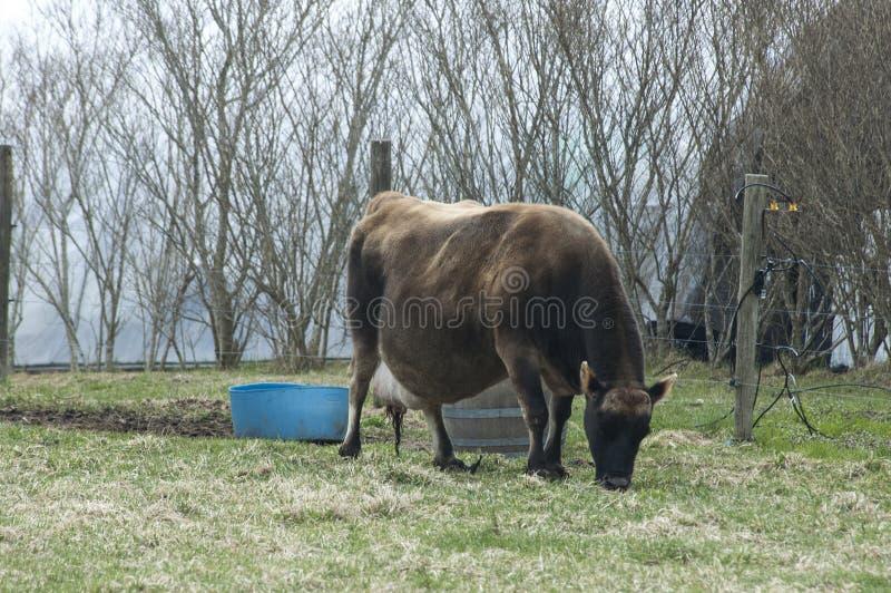 怀孕的母牛 免版税库存图片