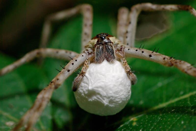 怀孕的蜘蛛狼 库存照片