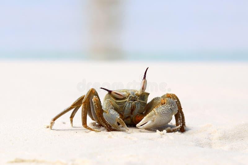怀疑螃蟹 免版税图库摄影