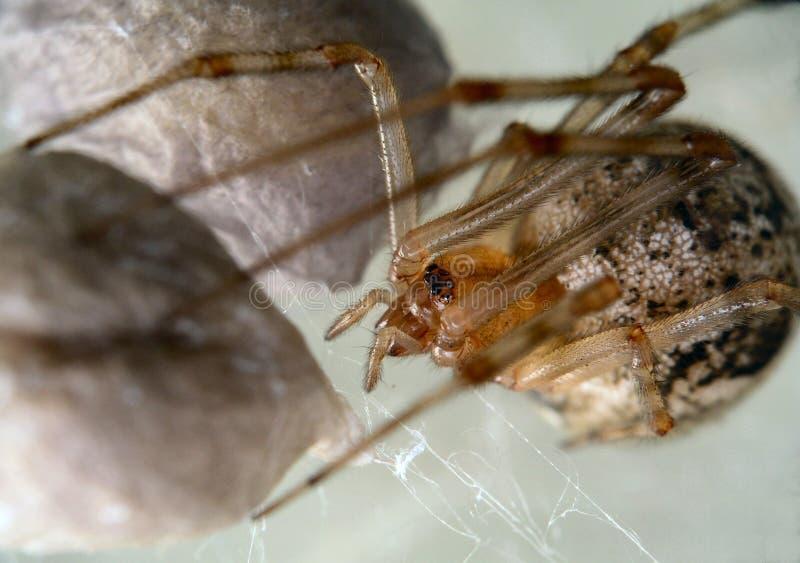怂恿她保护的大袋蜘蛛 图库摄影