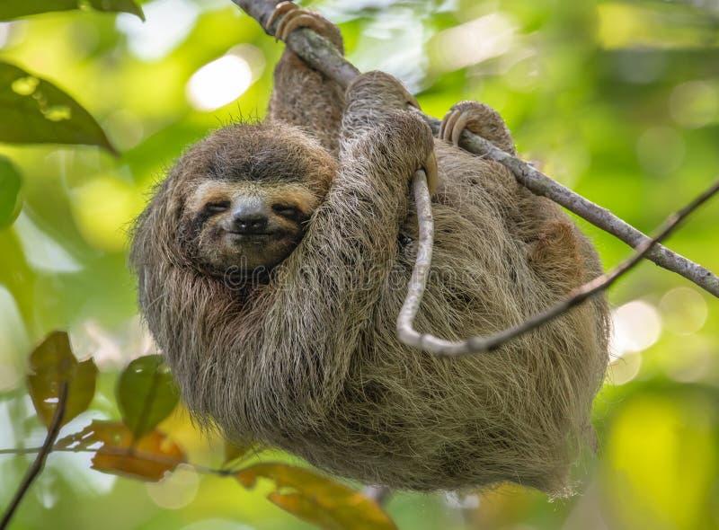 怠惰在哥斯达黎加 免版税库存照片