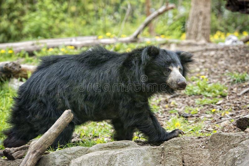 怠惰黑亚洲熊 免版税库存照片