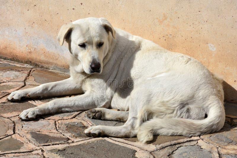 急切地看大白色的流浪狗 库存图片