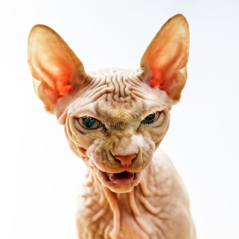 恐怖sphynx猫面孔画象  免版税图库摄影
