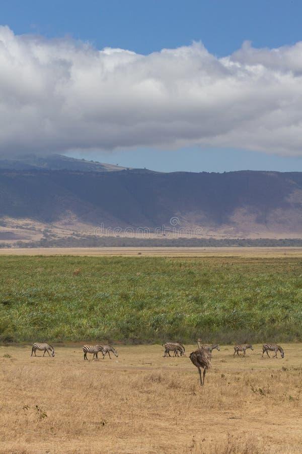 恩戈罗恩戈罗火山口边缘看法与斑马和鸸的 库存图片