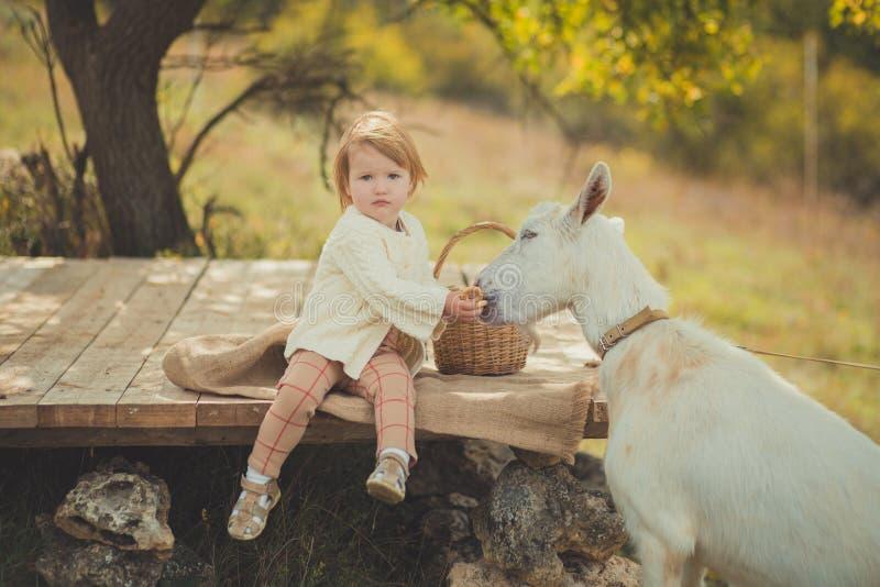 恰好时髦的女孩穿戴在有花费时间的金发的毛线衣在有篮子的村庄哺养动物山羊潜逃的有很多苹果 免版税图库摄影