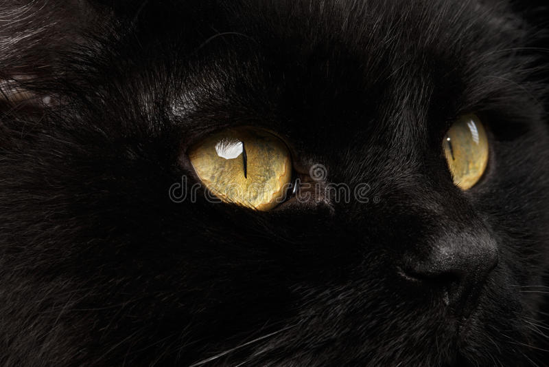 恶意嘘声口鼻部的特写镜头黄色眼睛在背景的 库存照片