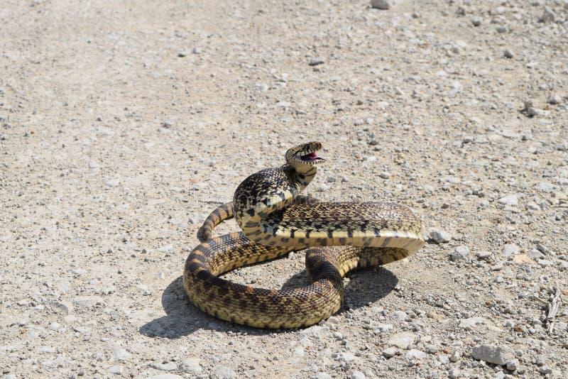 恼怒的公牛蛇在土路盘绕了 免版税库存图片