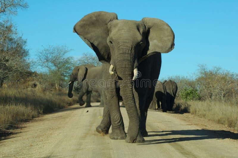 恼怒的大象 库存照片