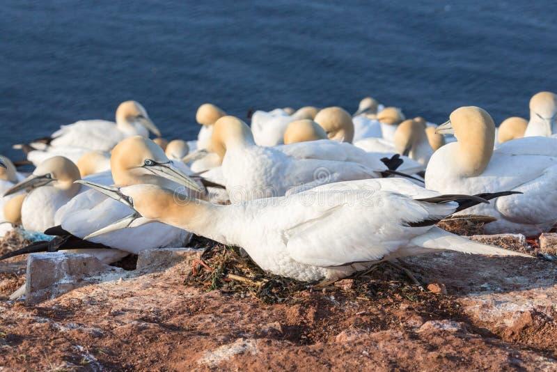 恼怒的嵌套在德国海岛Helgoland峭壁的北Gannet  图库摄影