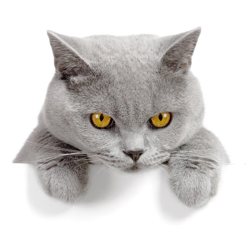 恼怒的横幅猫 免版税库存照片