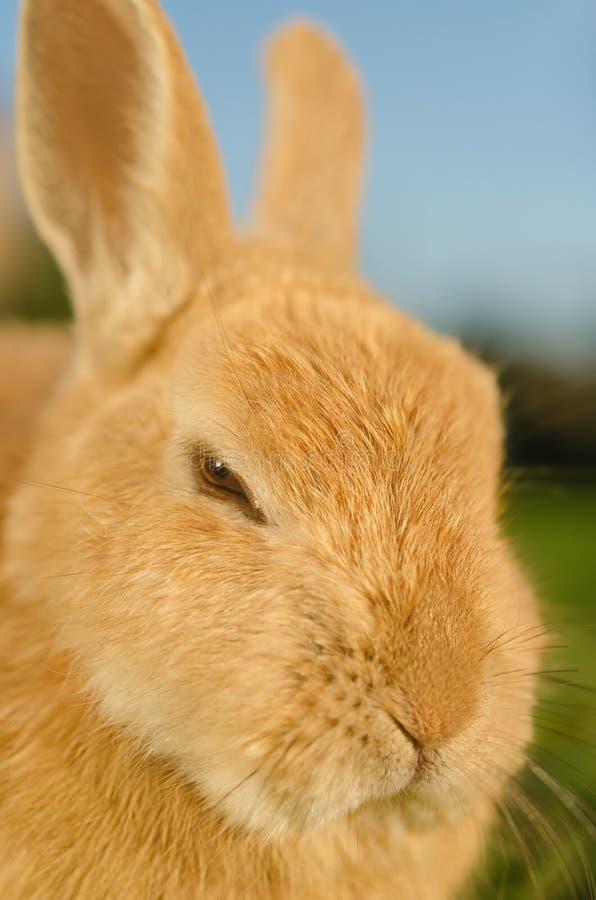 恼怒的橙色家兔-接近  免版税图库摄影