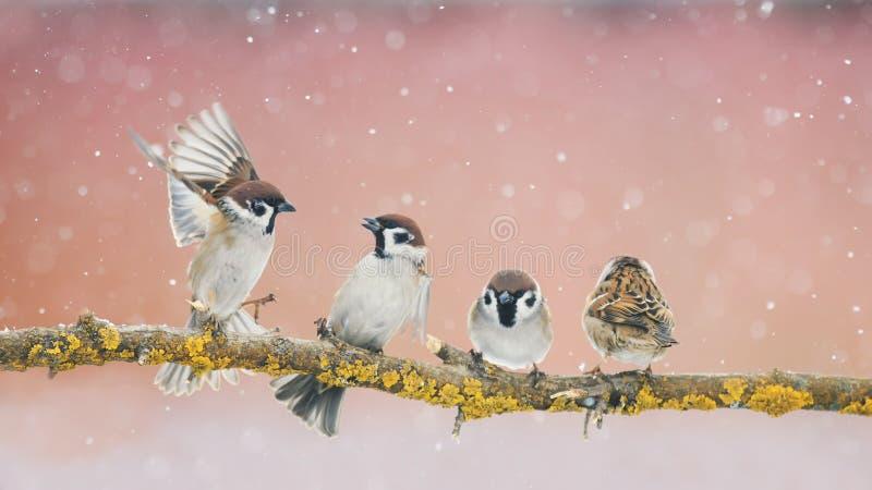 恼怒的滑稽的小的鸟麻雀坐在同水准的一个分支 免版税库存图片