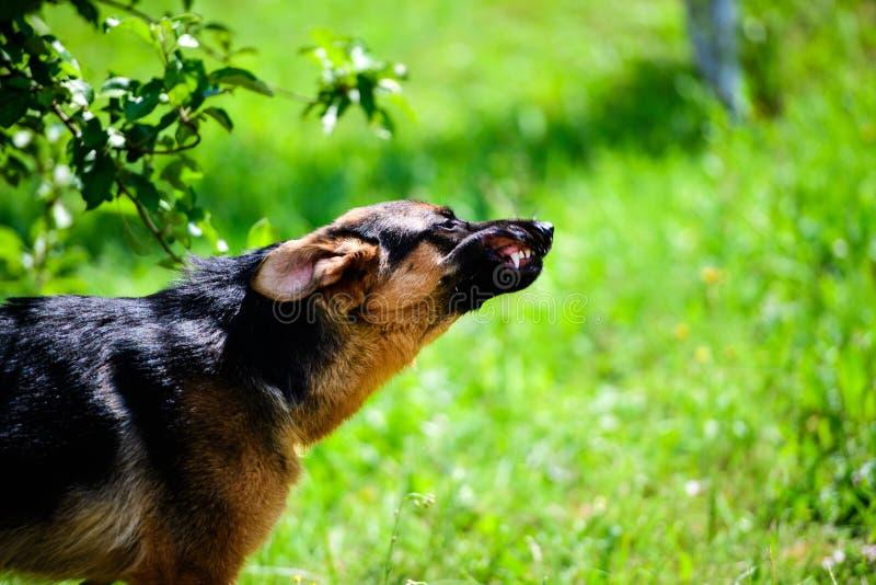 恼怒的狗攻击 狗看起来积极和危险 E 免版税库存照片