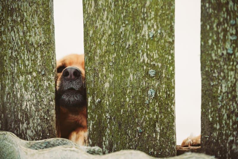 恼怒的狗看看从篱芭的外部 免版税库存照片