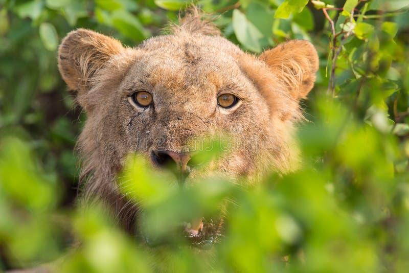 恼怒的狮子凝视通过准备好的叶子杀害 免版税库存照片