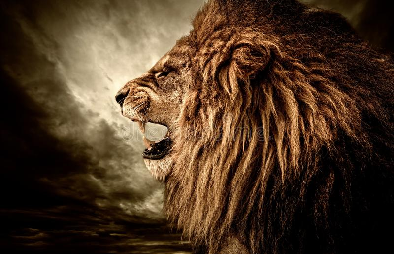 恼怒的狮子 图库摄影