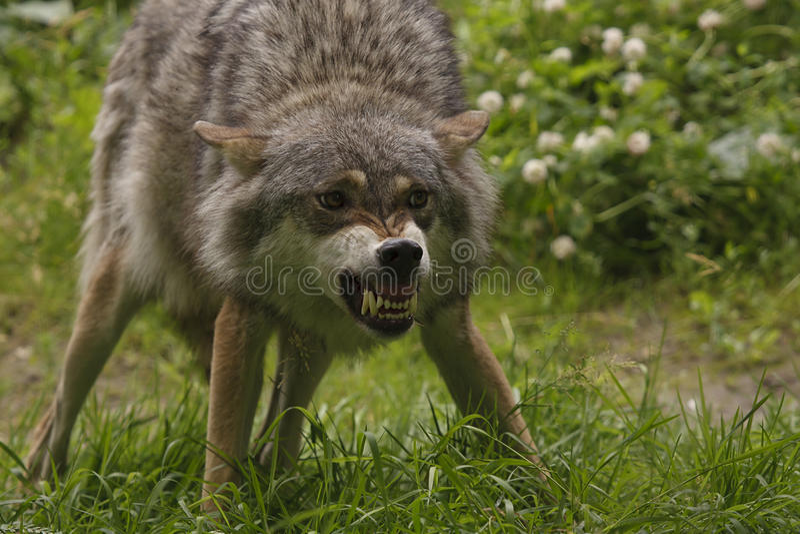 恼怒的狼 免版税库存照片