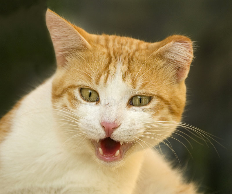 恼怒的猫 库存照片