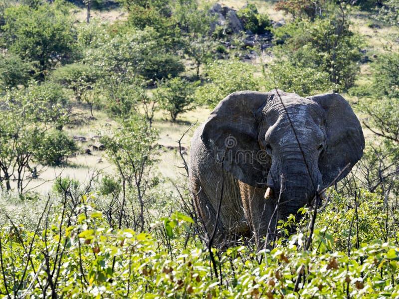 恼怒的男性非洲大象,非洲象属africana,纳米比亚 免版税库存照片