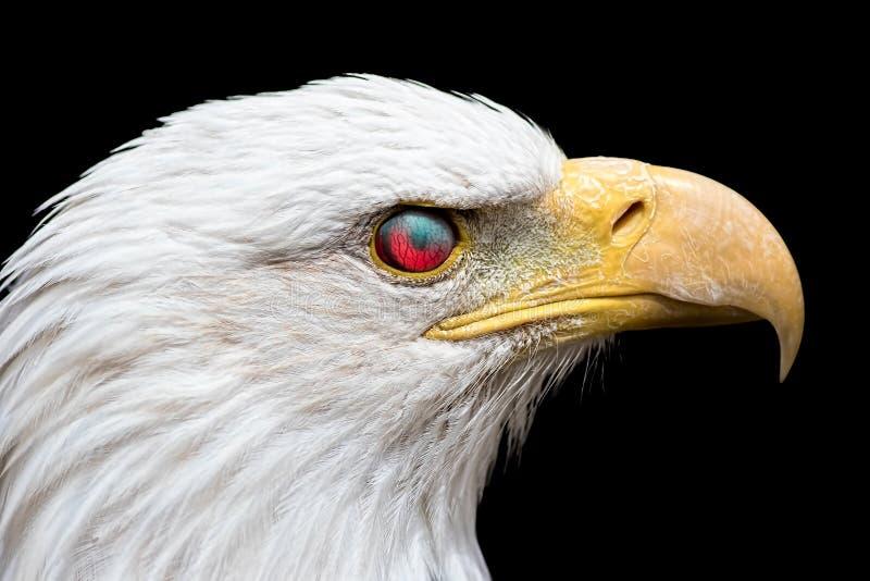 恼怒的美国白头鹰 看与眼睛nictitat的蛇神鸟 免版税库存图片