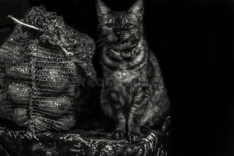 恼怒的脾气坏的被剥离的猫坐壁角近的袋子土豆 黑色白色 Copyspace 免版税库存照片